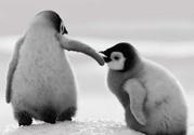 宝宝睡前故事:小企鹅也有梦想