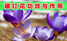 女人喝藏红花的好处 女人喝藏红花的功效与作用