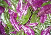 红凤菜有毒吗?红凤菜的功效与作用
