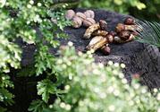 核桃树上寄生草可以泡水喝吗?桃树上的寄生草的功效