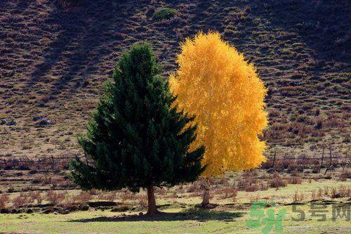 李晨晒夫妻树示爱 李晨晒夫妻树示爱 什么是夫妻树?