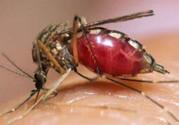 蚊子吸血后会死吗?蚊子吸血是为了什么