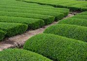 绿茶可以去黑眼圈吗?绿茶去黑眼圈的方法