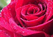 玫瑰花怎么养久一点?玫瑰花的养护