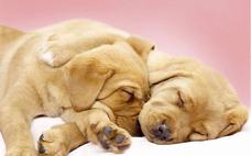 小狗应该怎么除虫呢 什么是狗狗的内虫