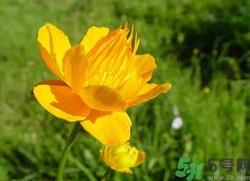 金莲花怎么养殖图片