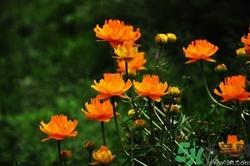金莲花怎么泡水图片