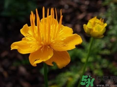 金莲花好养吗图片