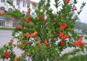 石榴籽怎么种小盆栽?石榴籽能种出石榴树吗