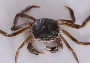 刚死的青蟹能吃吗?活青蟹怎么保存不容易死