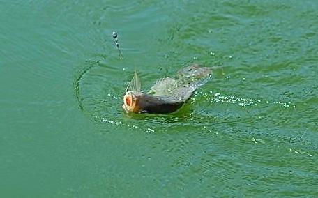 米饭能钓鱼吗 米饭钓鱼好吗