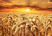 十一月份能种小麦吗?十一月份种小麦好吗