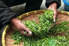白茶减肥效果