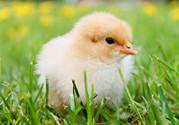 产妇可以吃毛蛋吗?产妇吃毛蛋有危害吗