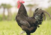 活鸡可以快递吗?活鸡怎么快递吗?
