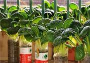冬天阳台适合种哪些蔬菜?冬天室内可以种什么蔬菜?