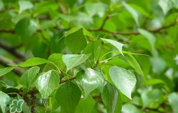 白杨树叶子图片