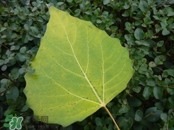 白杨树叶子的形状图片