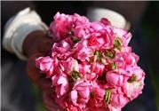 玫瑰精油可以直接涂脸上吗?玫瑰精油怎么用在脸上?