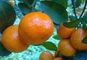 冰糖橘和砂糖橘哪个好吃?冰糖橘和砂糖橘的区别?
