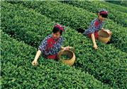 茶叶如何保存才能不变质,茶叶怎么保存好
