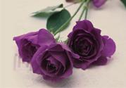 送紫玫瑰有什么含义?紫色玫瑰代表什么意思?