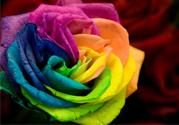 彩色玫瑰代表什么意思?彩色玫瑰花语是什么含义?