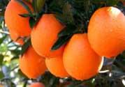 给宝宝吃脐橙好还是血橙好?脐橙好吃还是血橙好吃?