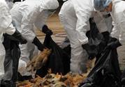 禽流感高温能杀死吗?禽流感多少度可以杀死?