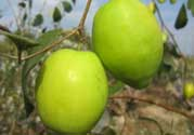 坐月子可以吃青枣吗?坐月子能吃青枣吗?
