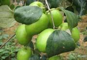 哺乳期可以吃青枣吗?哺乳期能吃青枣吗?
