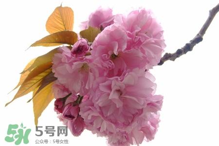 樱花的花语是什么 樱花代表什么意思