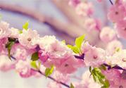 樱花是樱桃树的花吗?樱桃花和樱花的区别