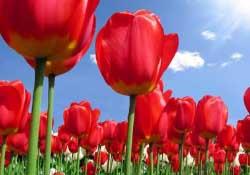 郁金香3月份还能种吗?三月份种郁金香可以吗?
