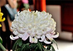 清明节扫墓买什么颜色菊花?清明节上坟用什么颜色菊花?