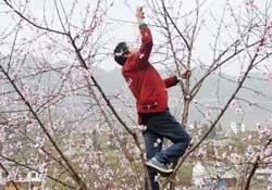 春天桃树能剪枝吗?桃树春季什么时间剪枝?