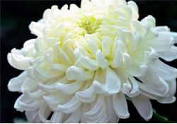 清明节扫墓为什么用菊花?清明节上坟为什么要送菊花?