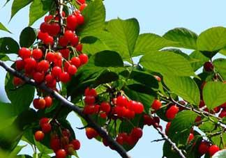 樱桃树几年结果?樱桃树不结果怎么回事?