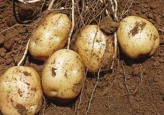 清明节能种土豆吗?土豆什么时候种植?