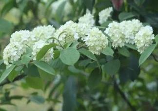 为什么学校要种石楠花?石楠花的味道为什么这么销魂?