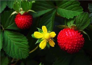 蛇莓孕妇能吃吗?孕妇能吃蛇莓吗?