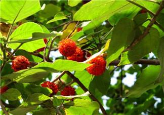 构树果实能吃吗?构树果实孕妇能吃吗?