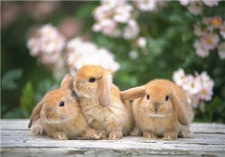 孕妇吃兔肉宝宝真的会长兔唇吗?孕妇吃兔子肉会得兔唇吗?