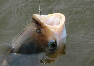 4月份能钓鲢鱼吗?四月份能钓鲢鱼吗?