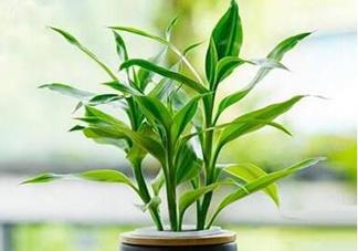 富贵竹可以和百合一起养吗?富贵竹可以和什么花养?