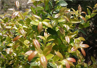 乌饭树叶孕妇可以吃吗?孕妇可以吃乌饭树叶吗?