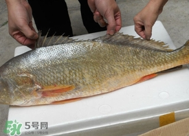 金钱鳘可以人工养殖吗?黄唇鱼为什么难养殖