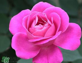 月季花5月扦插当年会开花吗?月季花的花期