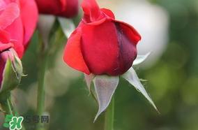 月季从有花苞到开花需要多久?月季花苞到开花要多久?
