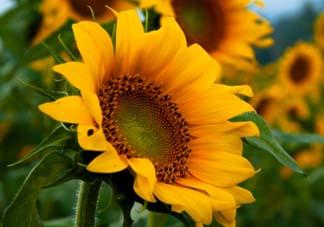 母亲节可以送向日葵吗?向日葵适合送什么人?